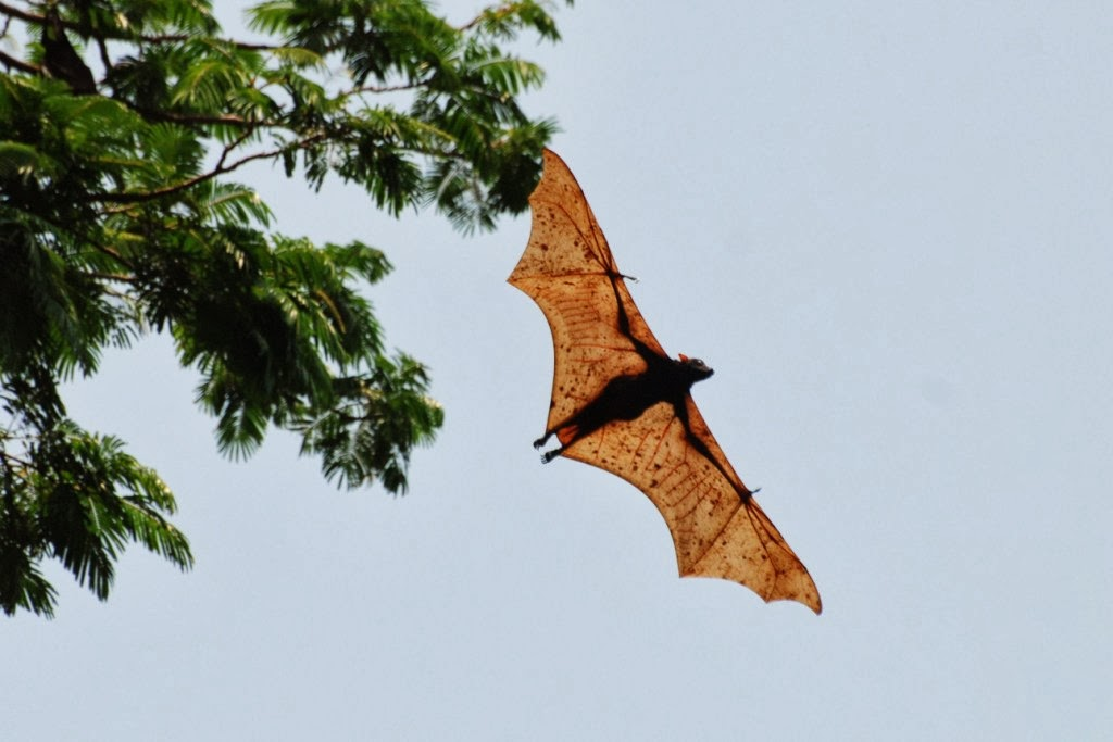 GIANT GOLDEN-CROWNED FLYING FOX - Proactive Pest Control