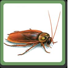 american-cockroach