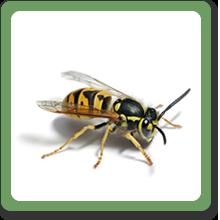 yellowjacket-bee