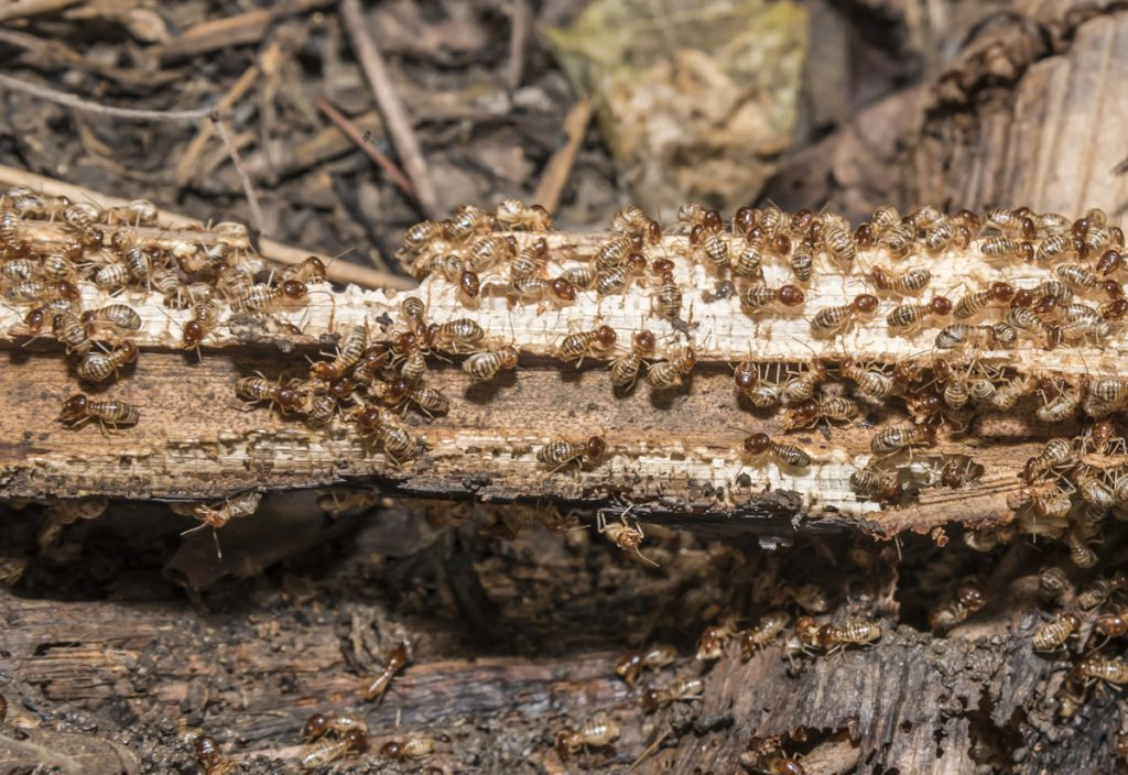 What Do Termites Look Like Termite Identification