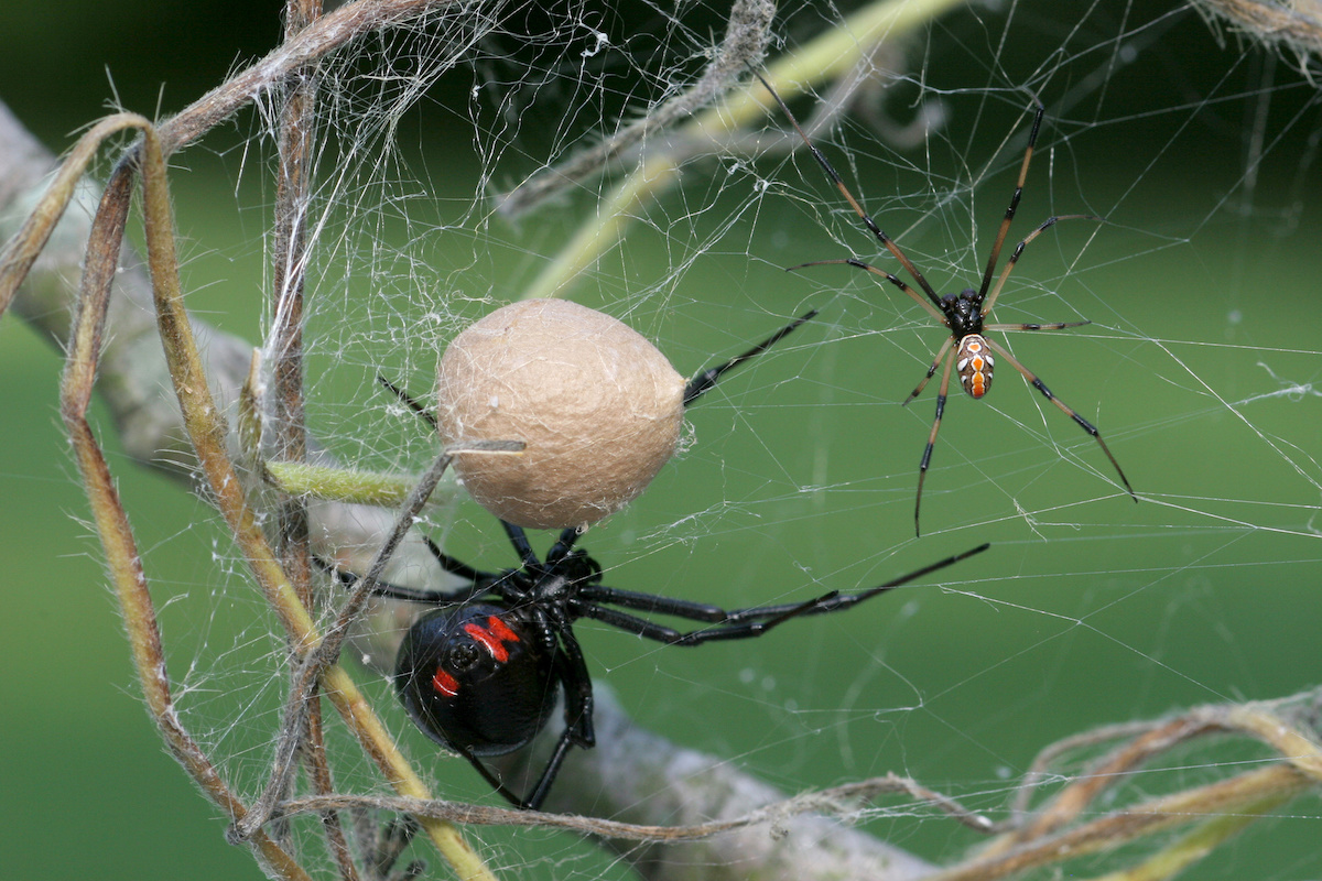 How To Tell The Difference Between A Male And Female Black Widow Proactive Pest Control