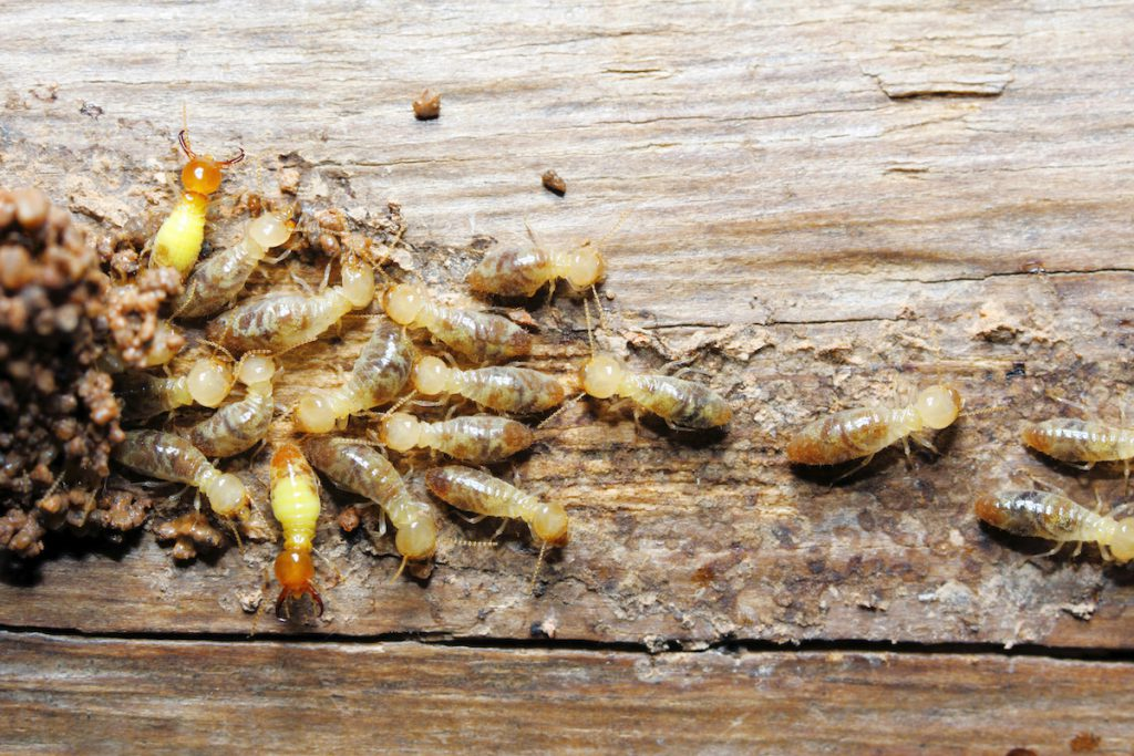 How Long Does It Take For Termite Poison To Kill Termites Proactive Pest Control
