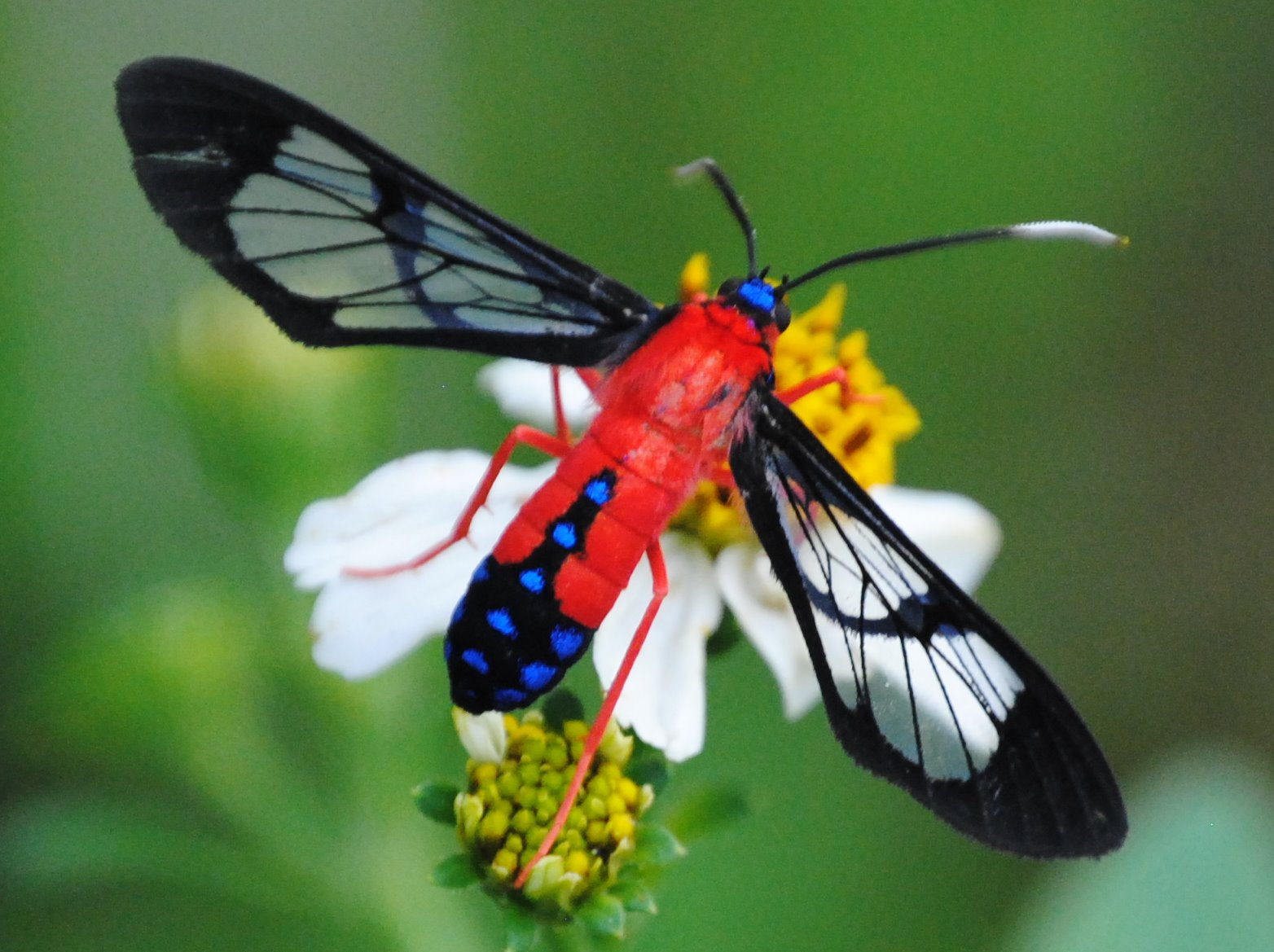 Georgia Moth Series – Scarlet-Bodied Wasp Moth - Proactive Pest Control