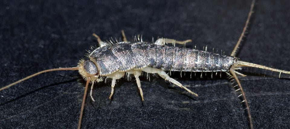 what are silverfish