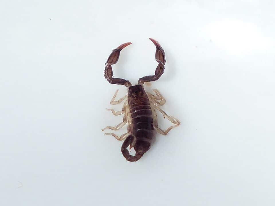 Georgia Scorpion